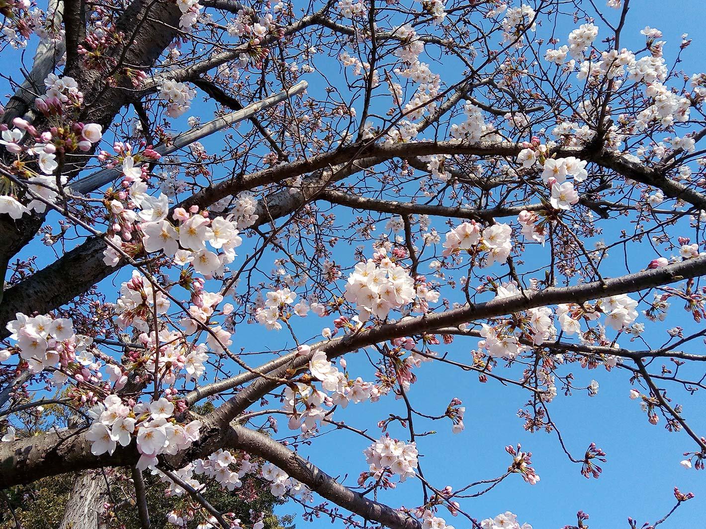 春の訪れ - 草木や花がモチーフのクロス